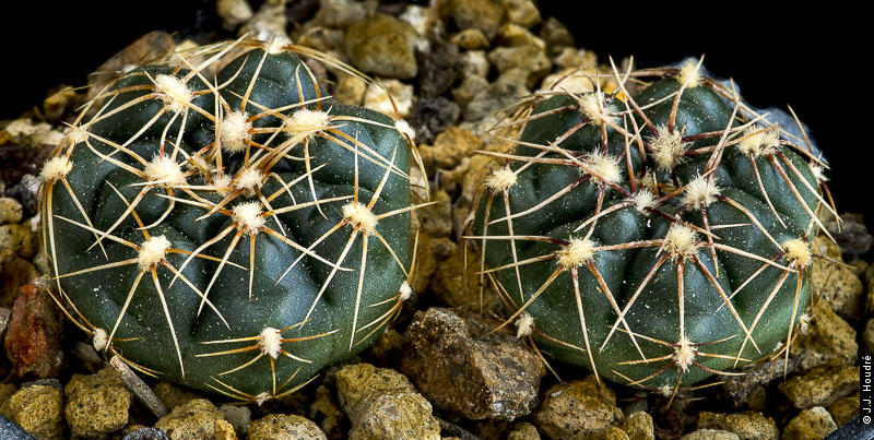 Gymnocalycium hyptiacanthum ssp uruguayense v melanocarpum LB 2700