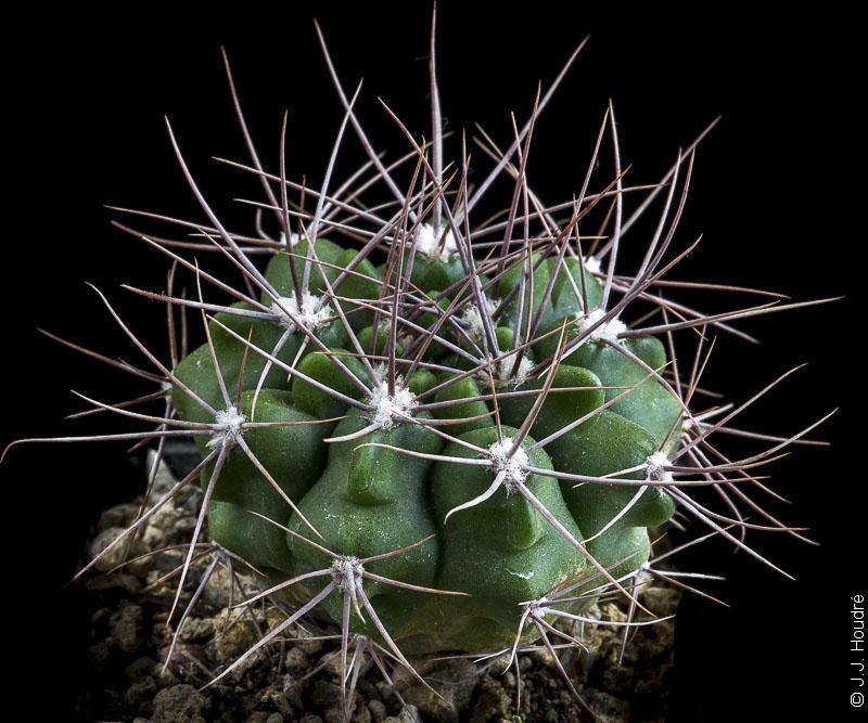 Gymnocalycium immemoratum P 83.