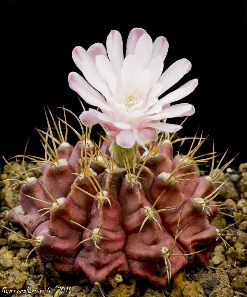 Gymnocalycium anisitsii ssp damsii (joosensianum)
