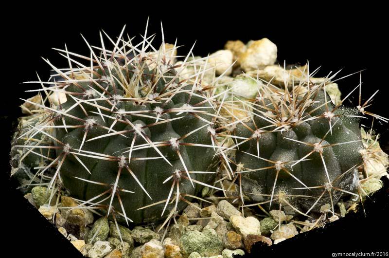 Gymnocalycium kuehhasii Vos 10-798. Cordoba; north of Villa de Maria, 544 m, Argentine.<br />Sujets d'un an issus d'un semis de graines Schaedlich Volker réf. : 2015/798