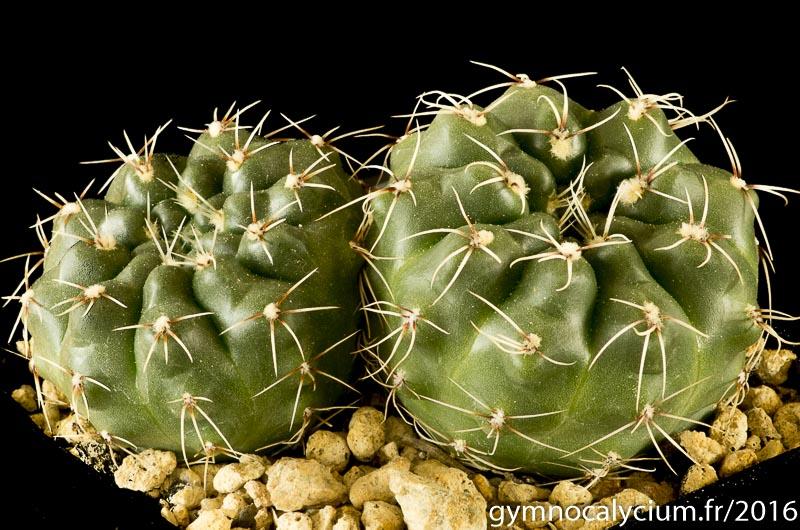 Gymnocalycium kuehhasii Tom 505-1. Autres sujets à 4 ans.