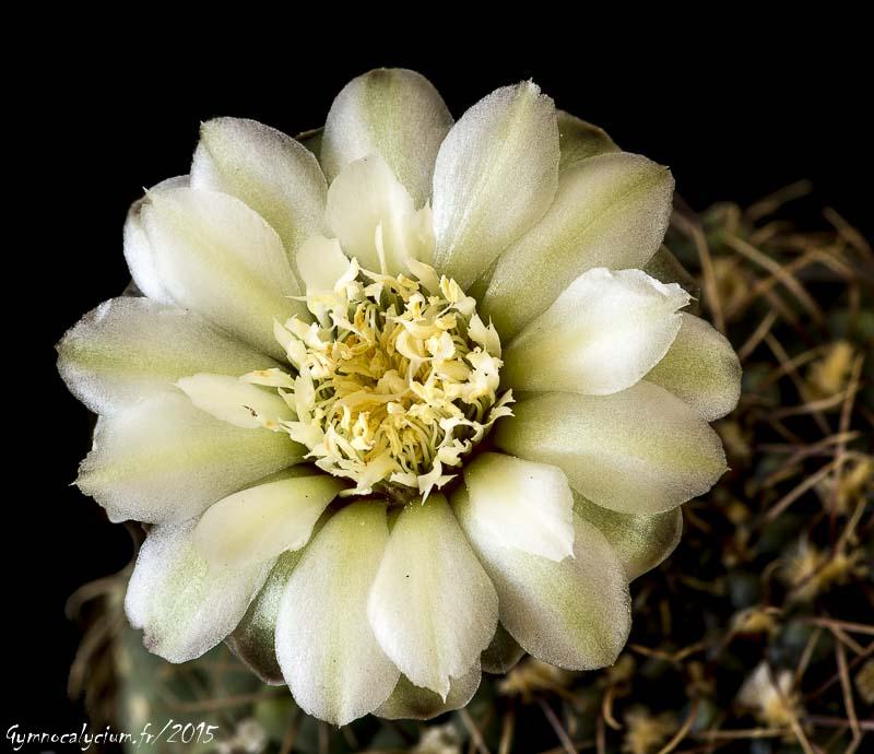Gymnocalycium leptanthum.