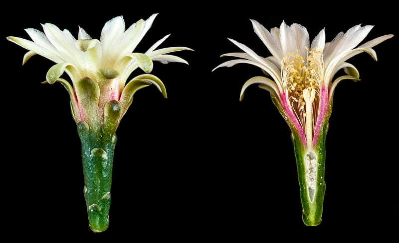 Gymnocalycium leptanthum, coupe longitudinale