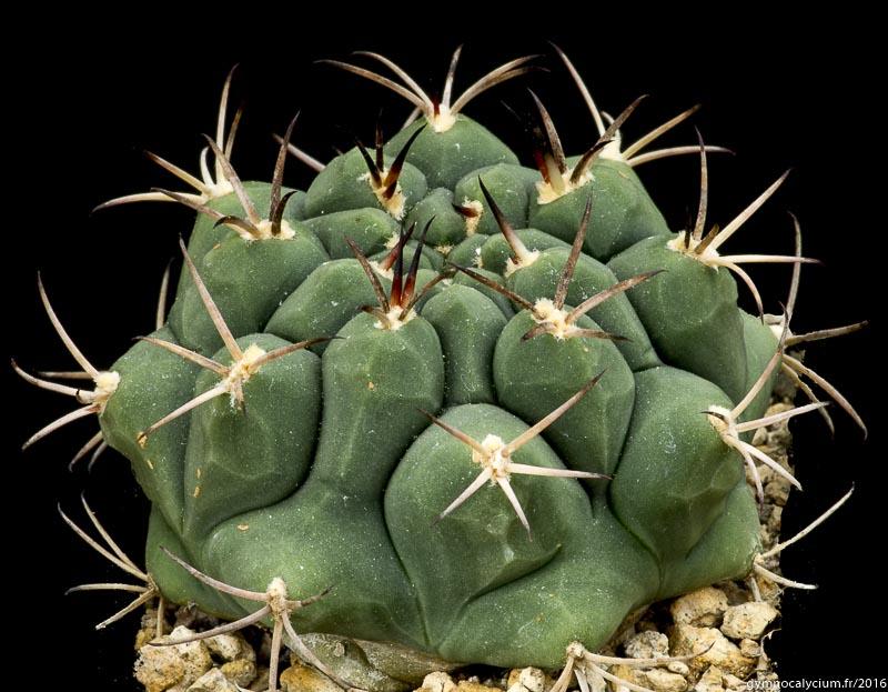 Gymnocalycium lumbrerasense FR 962. Même sujet à 10 ans.