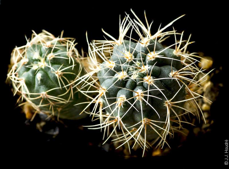 Gymnocalycium marianae