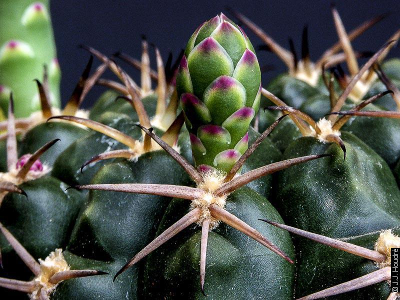 Gymnocalycium marsoneri ssp marsoneri