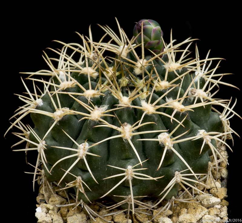 Gymnocalycium matoense. Même sujet à 9 ans.