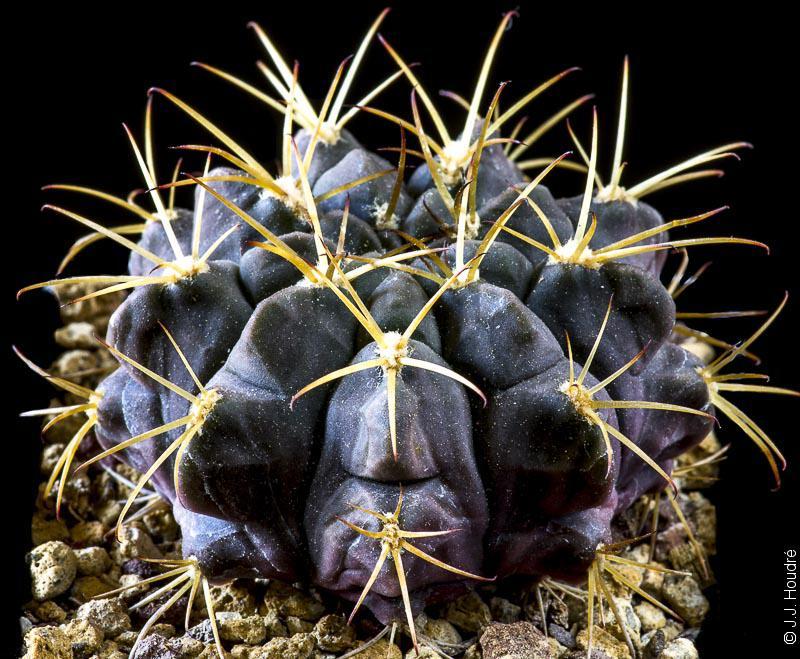 Gymnocalycium marsoneri ssp megatae
