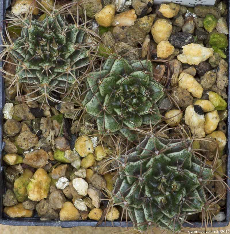 Gymnocalycium mendozaense LB 381. On the slopes of the Cerro Cabrera, Paraguay, 516 m. <br /> Sujets de 18 mois issus d'un semis de graines L. Bercht réf. : 2015/3590