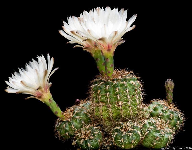 Gymnocalycium mesopotamicum P 24. Autre sujet du même semis à 16 ans