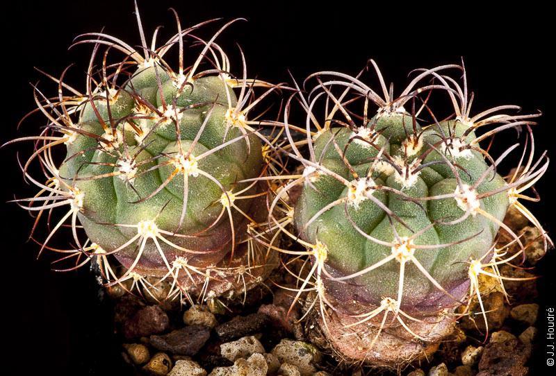 Gymnocalycium pflanzii ssp zegarrae (millaresii STO 959)