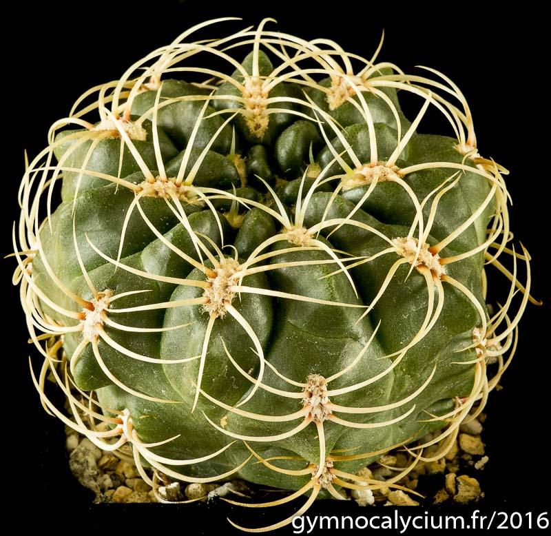 Gymnocalycium monvillei v. grandiflorum LF 95a