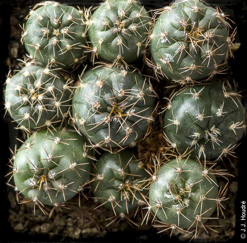 Gymnocalycium morroense LB 326