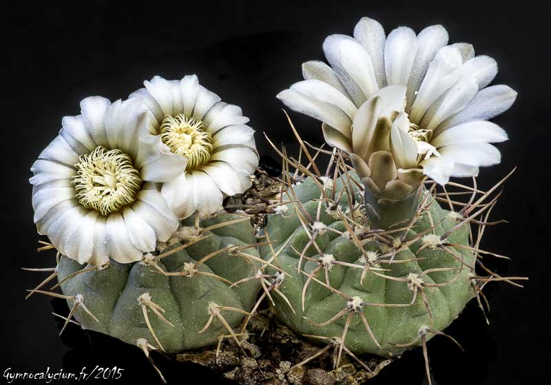 Gymnocalycium ochoterenae (moserianum P 90.