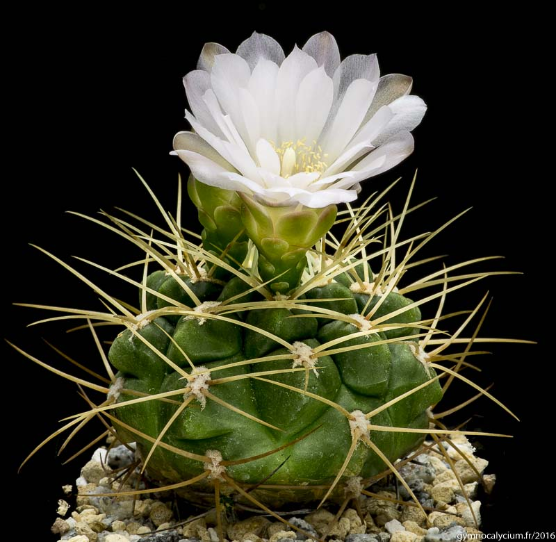 Gymnocalycium multiflorum v. parisiense. Sujet de 9 ans, origine Jan Paul Betlem.