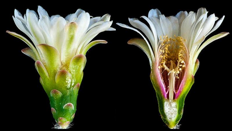 Gymnocalycium nigriareolatum P 130. Coupe longitudinale d'une fleur.