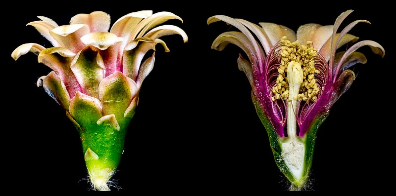 Gymnocalycium nigriareolatum v. simoi. Coupe longitudinale d'une fleur