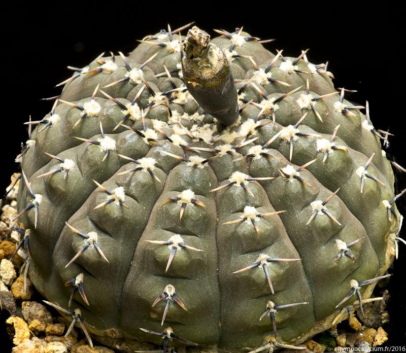 Gymnocalycium bodenbenderianum (occultum).
