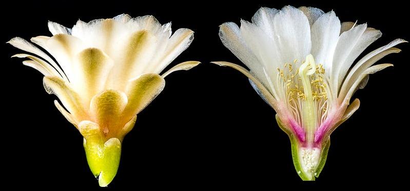 Gymnocalycium oehmeanum n. n. Coupe longitudinale d'une fleur.