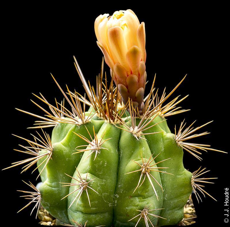 Gymnocalycium paediophyllum FR 1177.