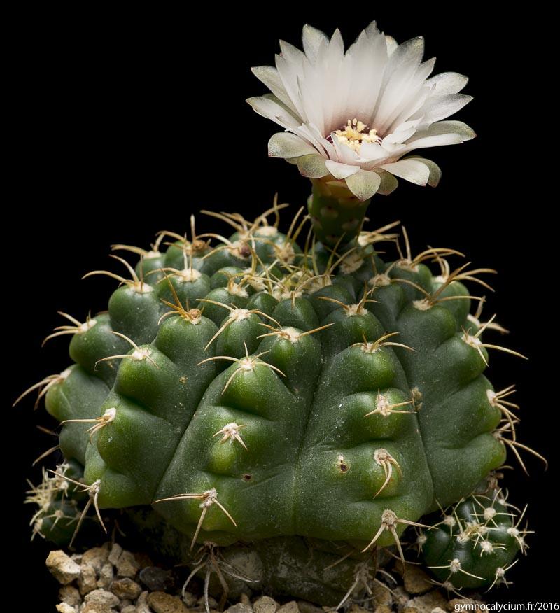 Gymnocalycium paraguayense LB 1002. Même sujet à 9 ans.