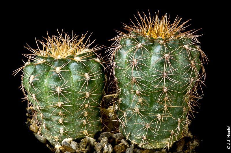 Gymnocalycium parvulum ssp huttneri VOS 10-749