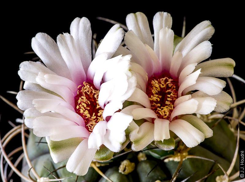 Gymnocalycium pflanzii ssp pflanzii (lagunillacense)