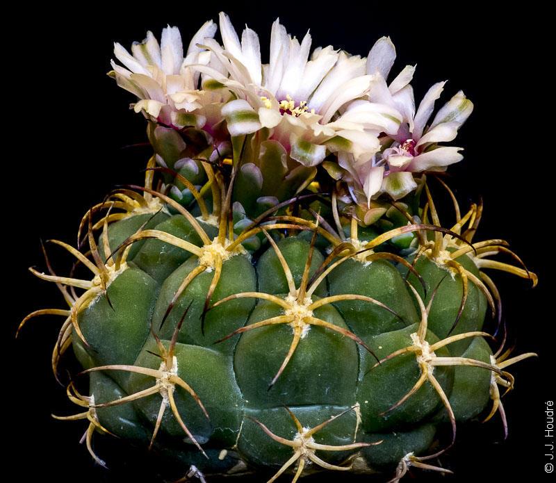 Gymnocalycium pflanzii ssp zegarrae (ssp saipinense KK 736)