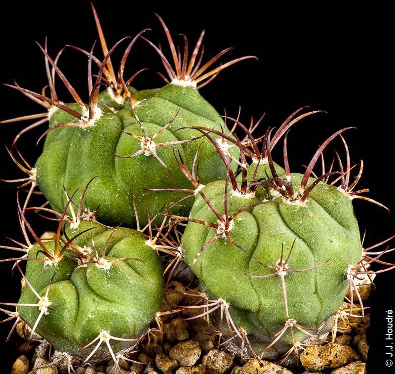 Gymnocalycium pflanzii ssp zegarrae (v. tominense KK 1684)