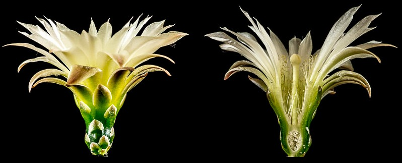 Gymnocalycium platense. Coupe longitudinale d'une fleur