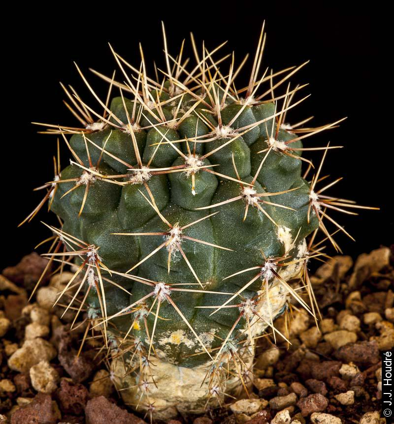 Gymnocalycium platense v. ventanicola