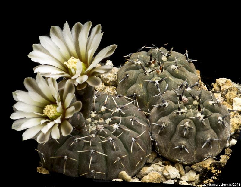 Gymnocalycium bodenbenderianum (platygonum LB 1161. 3 km à l'Ouest de Ramblones, 400 m, Catamarca, Argentine.<br />Sujets de 9 ans issus d'un semis de graines L. Bercht réf. : 2007/1941