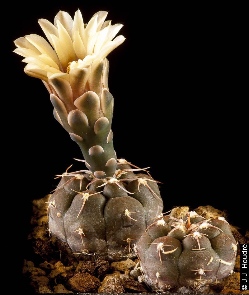 Gymnocalycium prochazkianum VS 141