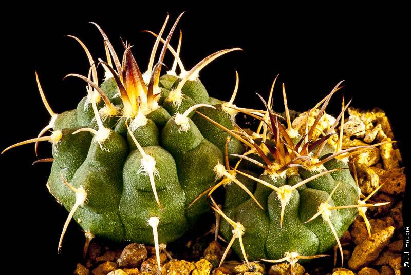Gymnocalycium pugionacanthum P 72