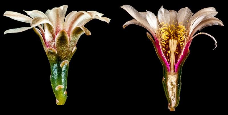 Gymnocalycium quehlianum.