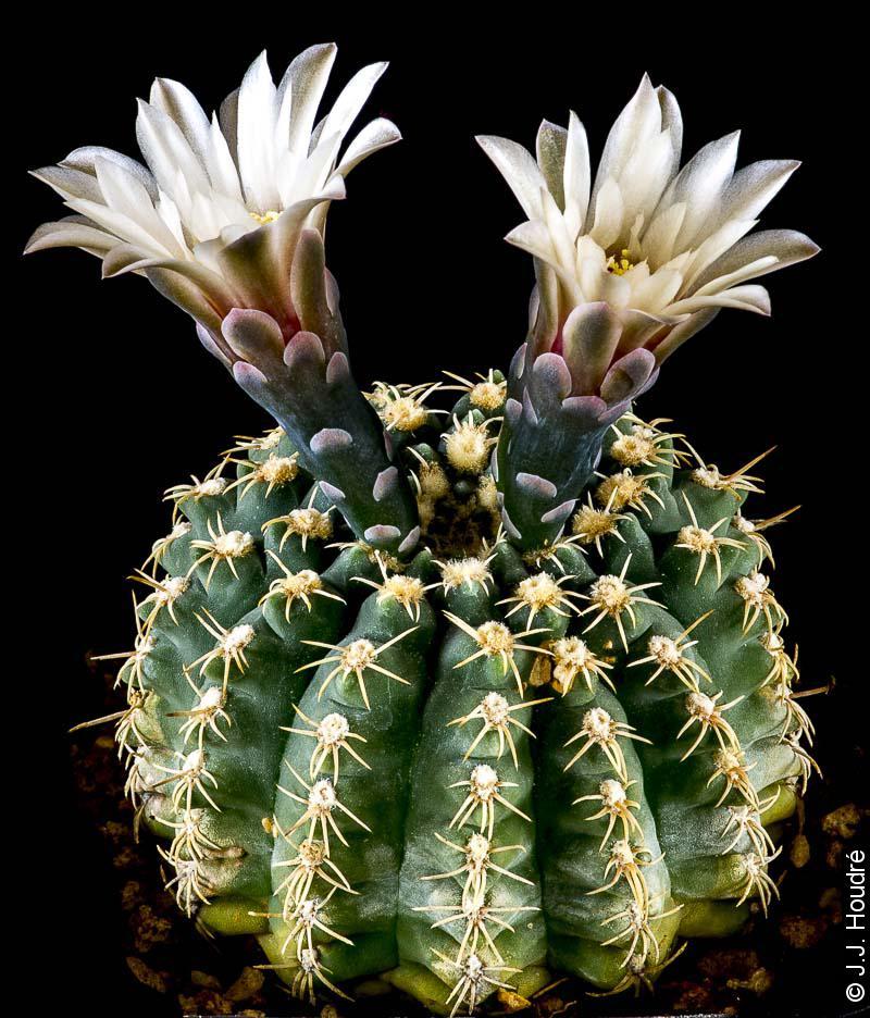 Gymnocalycium quehlianum v. albispinum