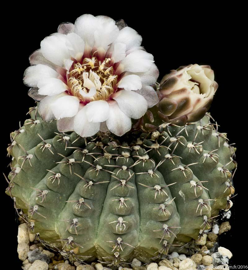 Gymnocalycium quehlianum v. kleinianum. Même sujet.