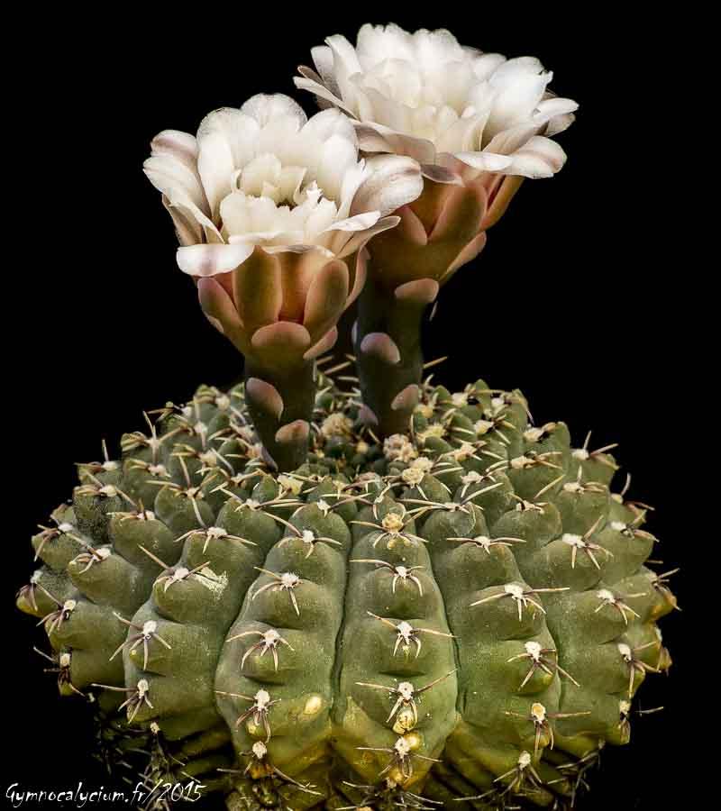Gymnocalycium quehlianum v. kleinianum Même sujet