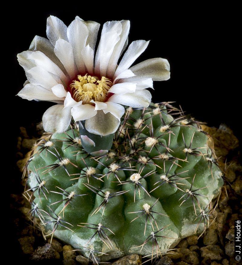 Gymnocalycium quehlianum v. zantnerianum (stellatum v. zantnerianum LB 1137)