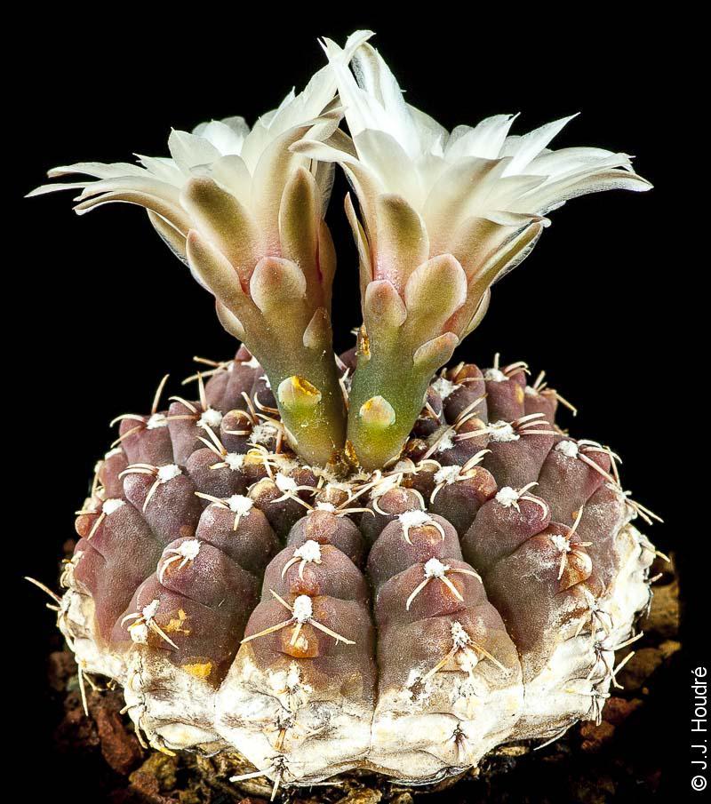 Gymnocalycium quehlianum v. zantnerianum G 276