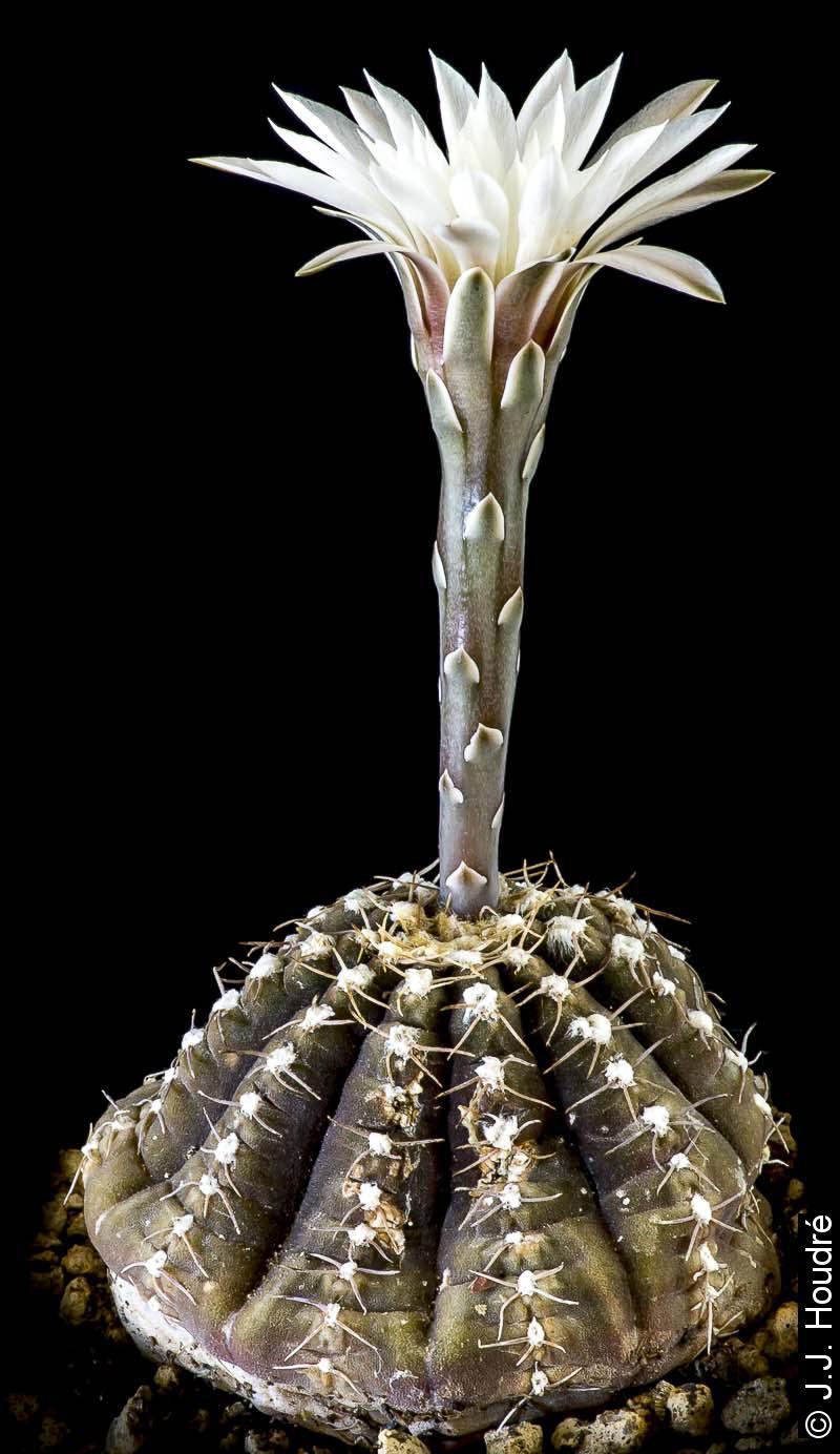 Gymnocalycium ragonesei