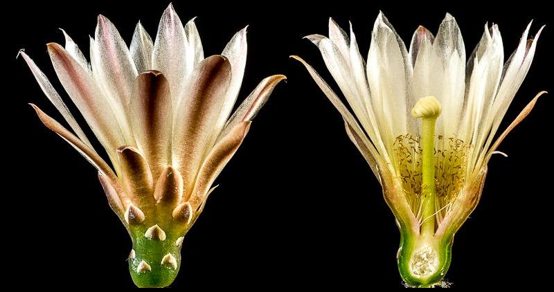 Gymnocalycium reductum ssp reductum WP 014-014