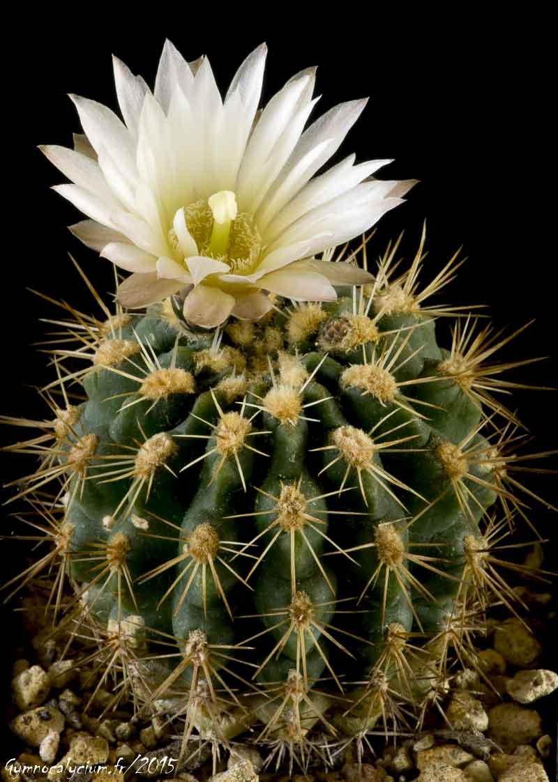 Gymnocalycium reductum ssp reductum WP 14-14. Même sujet