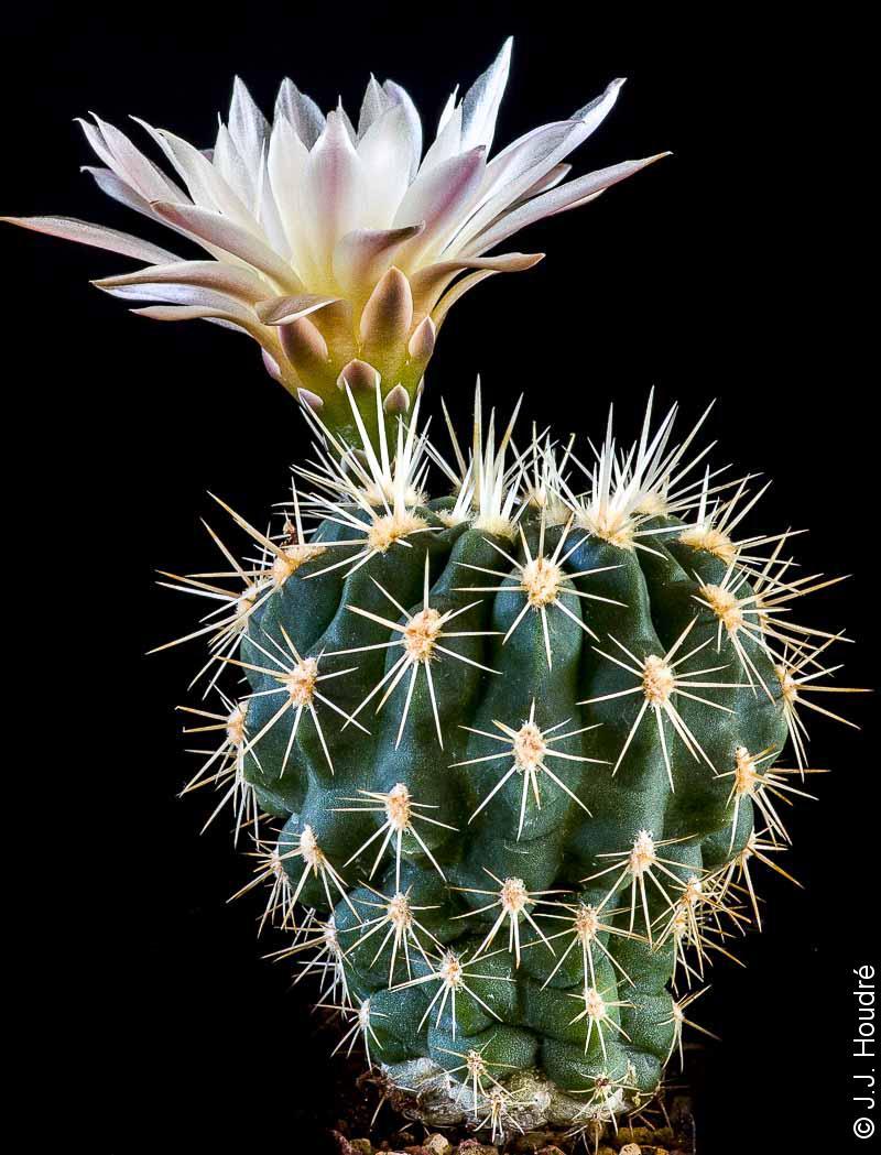 Gymnocalycium reductum ssp reductum WP 14-14
