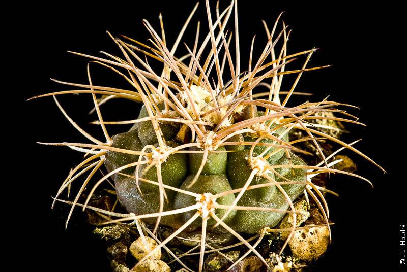 Gymnocalycium rhodantherum VS 41