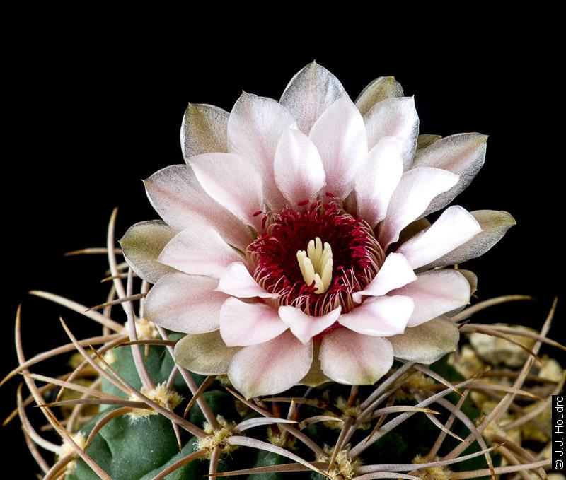 Gymnocalycium rhodantherum.
