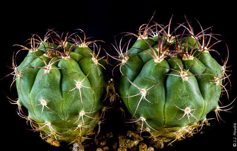 Gymnocalycium pflanzii ssp zegarrae (riograndense M 87)