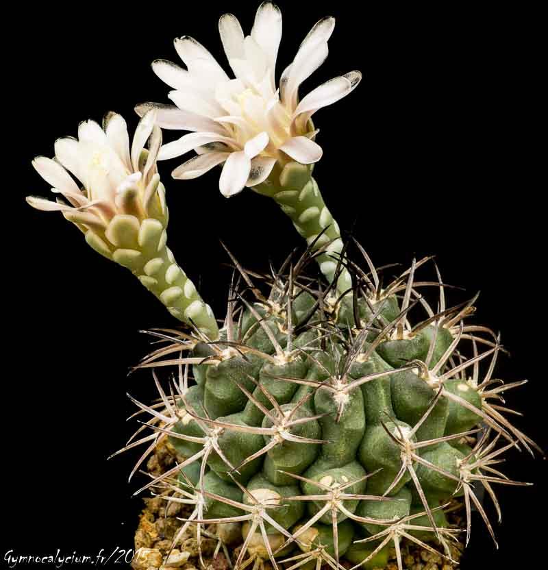 Gymnocalycium schickendantzii ssp schickendantzii P 17c.