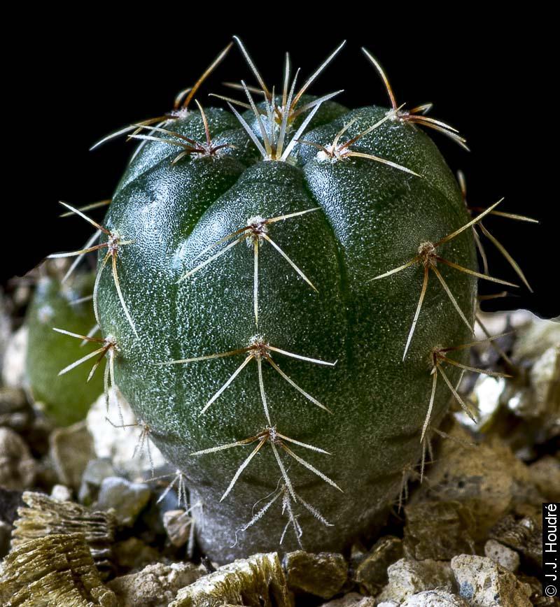 Gymnocalycium schreiteri L 439. Sierra Medina 1200-1500m), Tucuman, Argentine, 25/06/1970. Sujets d'un an issus d'un semis de graines L. Bercht réf. : 2013/4498