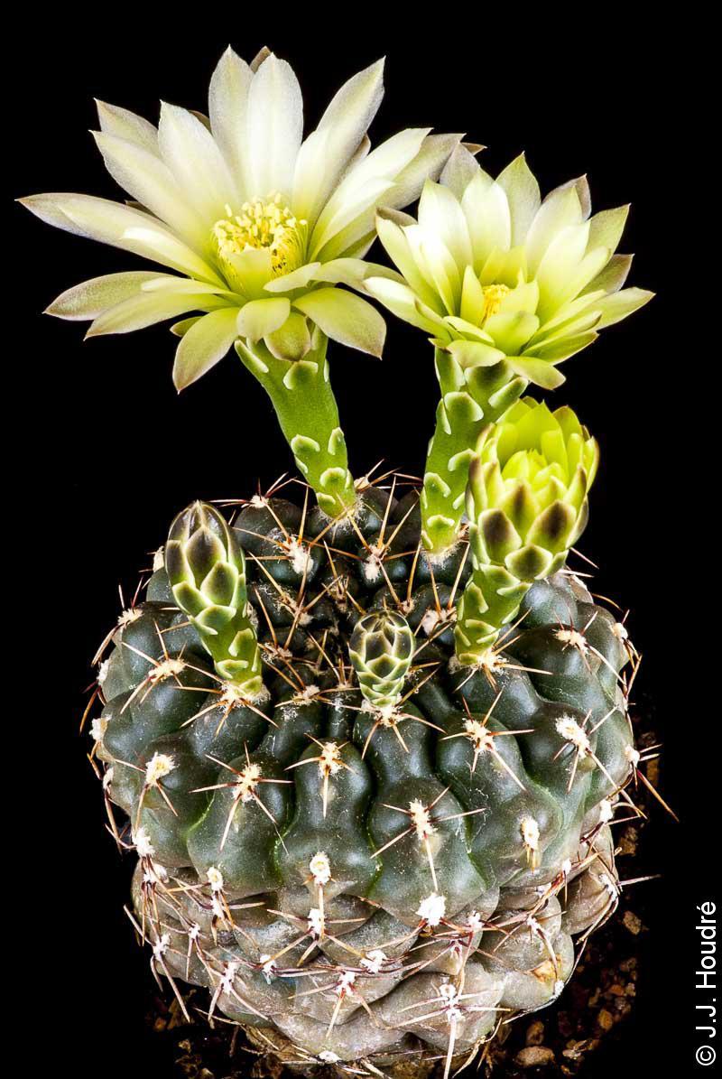 Gymnocalycium schroederianum ssp schroederianum
